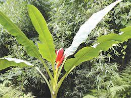 Chuối hột rừng hiếm có của núi rừng Tam Đảo
